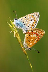 Accouplement de papillons Azuré (Lycaenidae)<br> Parc Naturel Régional du Morvan