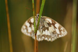 Le papillon Demi-deuil (Melanargia galathea)<br> Parc Naturel Régional du Morvan