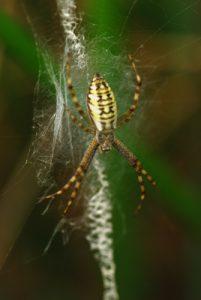 Araignée Epeire faciée (Argiope bruennichi)<br> Parc Naturel Régional du Morvan
