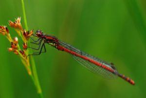 Nymphe au corps de feu (Pyrrhosoma nymphula)<br> Parc Naturel Régional du Morvan