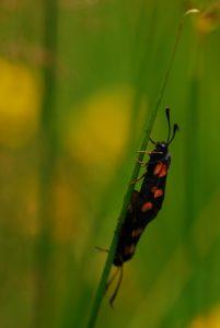 Zygène en couple<br> Parc Naturel Régional du Morvan