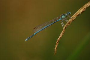 Libellule Pennipatte bleuâtre mâle (Platycnemis pennipes)<br> Parc Naturel Régional du Morvan