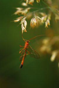 L'Ophion jaune (Ophion luteus)<br> Parc Naturel Régional du Morvan