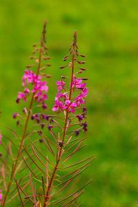 L'Épilobe en épi, ou Laurier de Saint-Antoine (Chamerion angustifolium)<br> Parc Naturel Régional du Morvan