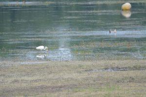 La grande Aigrette (Casmerodius albus)<br> Lac d'Auzon-Temple<br> Parc Naturel Régional de la Forêt d'Orient