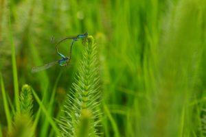 Accouplement d'Ischnure élégante (Ischnura elegans)<br> Parc Naturel Régional de la Forêt d'Orient