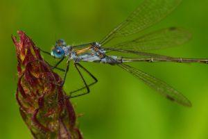 Leste des bois mâle (Lestes dryas)<br> Parc Naturel Régional de la Forêt d'Orient