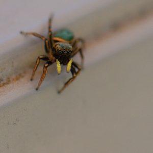 Araignée sauteuse de la famille des Salticidae<br> Parc Naturel Régional Loire Anjou Touraine