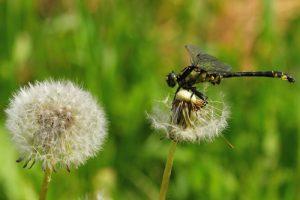 Le Gomphe à pattes noires (Gomphus vulgatissimus)<br> [Caractéristiques : pattes noires, jaune vire au vert]<br> Parc Naturel Régional Loire Anjou Touraine