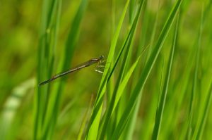 Le Pennipatte bleuâtre (Platycnemis pennipes)<br> [Caractéristiques : pattes noires, jaune vire au vert]<br> Parc Naturel Régional Loire Anjou Touraine
