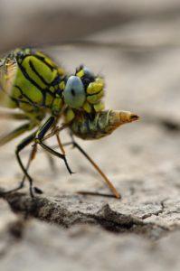 Le Gomphe gentil (Gomphus pulchellus) dévorant un Tipule<br> Parc Naturel Régional Loire Anjou Touraine