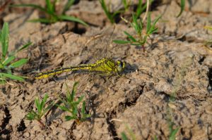 Le Gomphe gentil (Gomphus pulchellus)<br> Parc Naturel Régional Loire Anjou Touraine