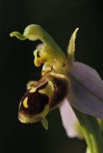 Ophrys abeille (Ophrys apifera)<br> Parc Naturel Régional des Pyrénées Ariégeoises