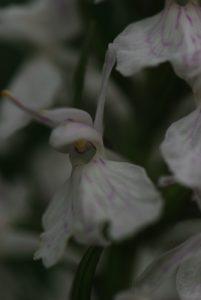 Orchidée Orchis tacheté quasi albinos (Dacthylorysa maculata ?)<br> Parc Naturel Régional des Pyrénées Ariégeoises