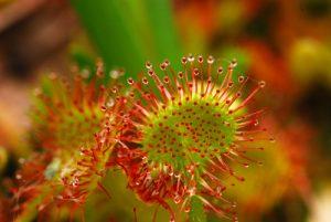 La Drosera à feuilles rondes (Drosera rotundifolia)<br> Parc Naturel Régional des Pyrénées Ariégeoises