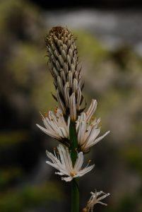 L'Asphodèle blanc (Asphodelus albus)<br> Parc Naturel Régional des Pyrénées Ariégeoises