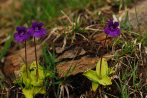 La grassette commune (Pinguicula vulgaris)<br> Parc Naturel Régional des Pyrénées Ariégeoises