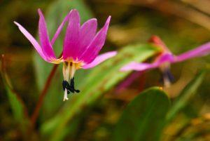 La Dent-de-chien (Erythronium dens-canis)<br> Parc Naturel Régional des Pyrénées Ariégeoises