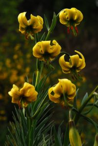 Lis des Pyrénées (Lilium pyrenaicum)<br> Parc Naturel Régional des Pyrénées Ariégeoises