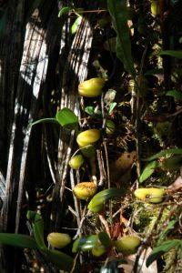 Orchidée du genre Bulbophyllum (Bulbophyllum longiflorum)<br> Végétation du Sentier entre Bélouve &amp; le Piton des Neiges<br> Île de la Réunion