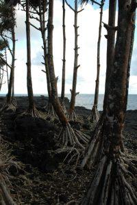 Vacoas ou Pimpin (Pandanus montanus) de la Pointe de la Table<br> Île de la Réunion