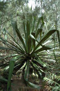 Aloès vert ou Choca (Furcraea foetida) Village de Îlet à Bourse<br> Cirque de Mafate Nord<br> Île de la Réunion