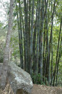 Bambou au Village de Îlet à Bourse<br> Cirque de Mafate Nord<br> Île de la Réunion