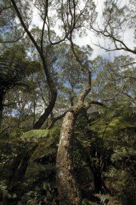 Le Tamarin des Hauts (Acacia hétérophylla) endémique de l'île de La Réunion<br> La Forêt de Bélouve<br> Île de la Réunion
