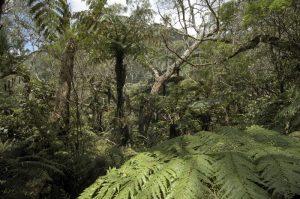 Le Tamarin des Hauts (Acacia hétérophylla) <br> La Forêt de Bélouve<br> Île de la Réunion