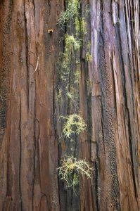Détail de l'écorce du Cryptoméria (Cryptomeria japonica) dans la forêt de Bébour<br> Île de la Réunion