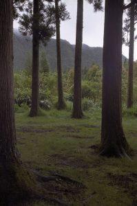 Cryptoméria (Cryptomeria japonica) dans la forêt de Bébour<br> Île de la Réunion