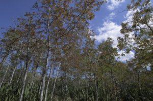 Forêt d'Etang-Salé<br> Île de la Réunion