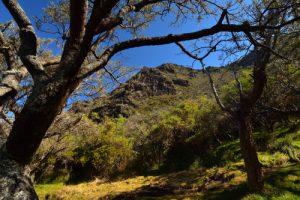 Forêt de Petit Tamarin des Hauts (Sophora denudata)<br> Parc National de la Réunion