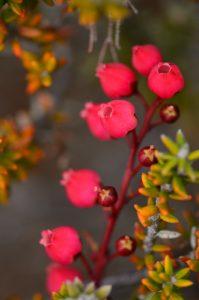 Le Petit bois de rempart ou Agariste à feuilles de buis (Agarista buxifolia)<br> Parc National de la Réunion