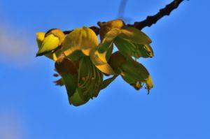 La fleur du Petit Tamarin des Hauts (Sophora denudata)<br> Parc National de la Réunion