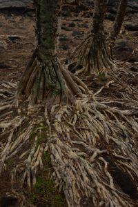 "Racines de Vacoa (Pandanus utilis) ou ""pipin"".<br> La Pointe de la Table<br> Parc National de la Réunion"