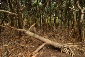 Forêt de Vacoa (Pandanus utilis)<br> La Pointe de la Table<br> Parc National de la Réunion