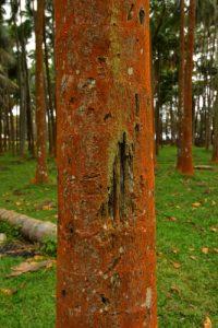 Les palmistes rouges (Acanthophoenix rubra)<br> Anse des cascades<br> Parc National de la Réunion