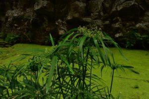 Papyrus (Cyperus papyrus).<br> La Ravine de Bernica &amp; le bassin Pigeon<br>Parc National de la Réunion