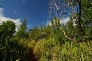 Forêt de l'Etang Salé avec Langue de Belle-Mère (Sansevieria metallica), Choca bleu (Agave americanae) &amp; Filao de bord-de-mer (Casuarina equisetifolia)<br> Île de la Réunion