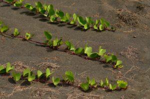 La liane rampante Patate à Durand (Ipomoea pes-caprae).<br> Forêt de l'Etang Salé<br> Île de la Réunion