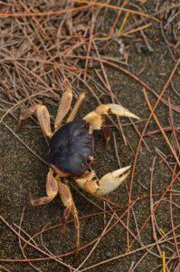 Crabe terrestre (geograpsus grayi).<br> Forêt de l'Etang Salé<br> Île de la Réunion