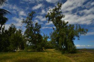 Filao de bord-de-mer (Casuarina equisetifolia)<br> Forêt de l'Etang Salé &amp; Etang de Gol<br> Île de la Réunion