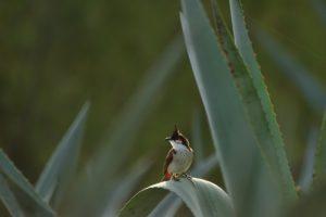 Le Bulbul orphée (Pycnonotus jocosus)<br>Forêt de l'Etang Salé &amp; Etang de Gol<br> Île de la Réunion