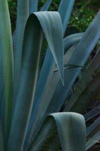 Agave américain ou Choca bleu (Agave americanae)<br> Forêt de l'Etang Salé<br> Île de la Réunion