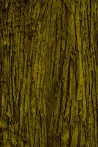 Le Cryptoméria du Japon (Cryptomeria japonica)<br> Point de vue du Maïdo<br> Île de la Réunion