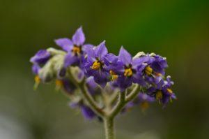 """La peste végétale Bringellier ou """"tabac marron"""" (Solanum auriculatum)<br> Le Maïdo<br> Île de la Réunion"""