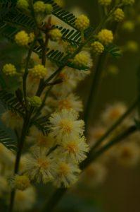 Le fleur du Tamarin des Hauts (Acacia heterophylla)<br> Parc National de la Réunion