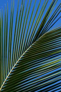 Feuille de Palmier<br> Île de la Réunion