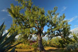 Forêt de l'Etang salé<br> Île de la Réunion